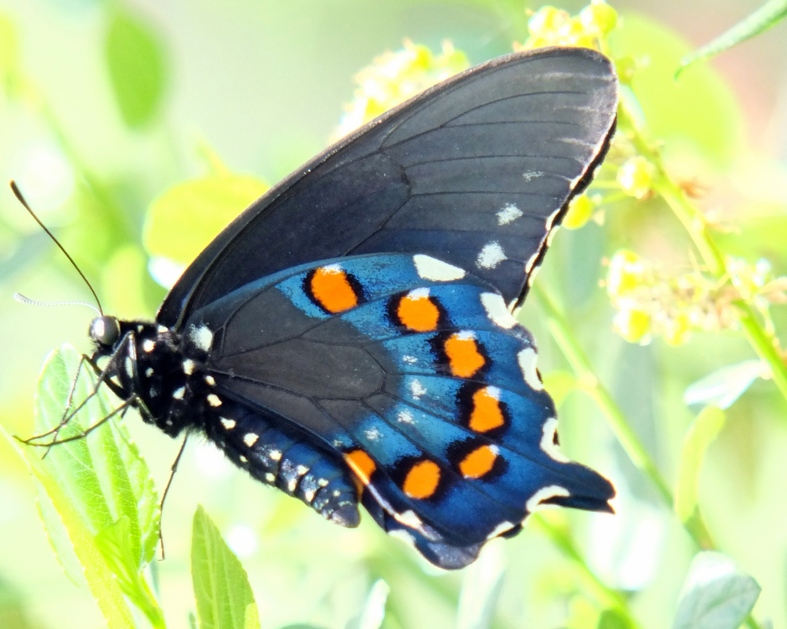 Natural History Of Butterflies